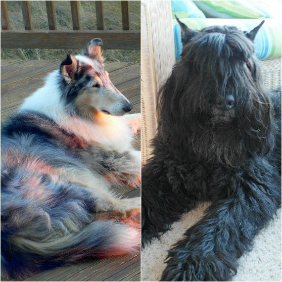 a collage of 2 photos of dogs, a brindle collie and a Bouvier des Flandres